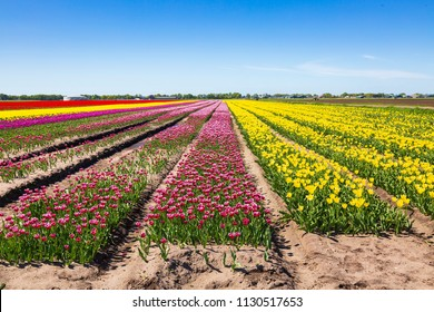 Dutch tulips flowers field with a blue sky during Spring season in Drenthe, the Netherlands