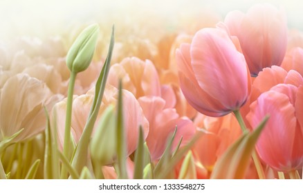 Dutch tulips in the garden at blurry background. Spring flowers in coral and green colors for your decor of florist shop or creativ poster on a tulip festival.