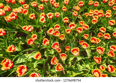 Dutch tulips struggle due to drought due to global warming and climate change at the flower fields, Flevoland, Holland