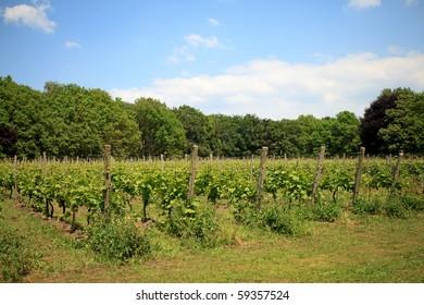 Dutch vineyard near Nijkerk