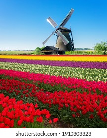 dutch windmill over colorful tulips field stripes, Holland