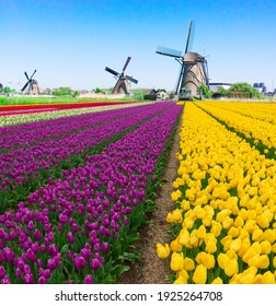 dutch windmill over colorful violet and yellow tulips field, Holland