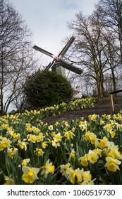 dutch windmill seeing through yellow daffodils