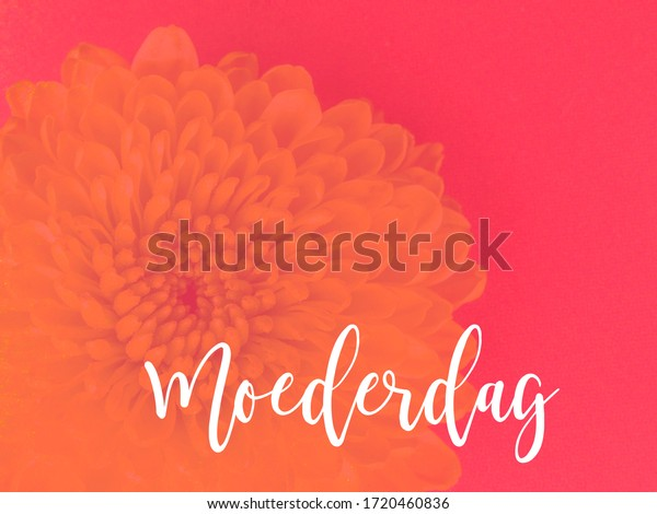 Dutch word Moederdag (mothers day) on a pink background with a dahlia flower. Room for copy.