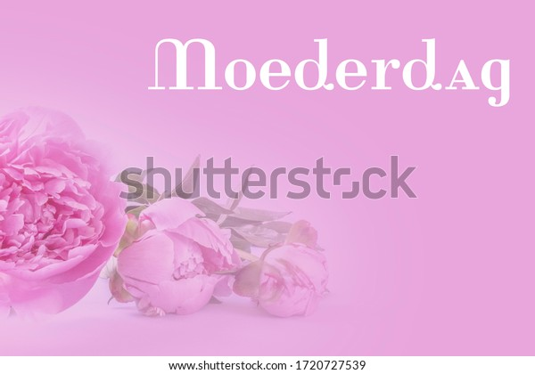 Dutch word Moederdag (Mothers day) with pink peonies on a pink background. Room for copy.