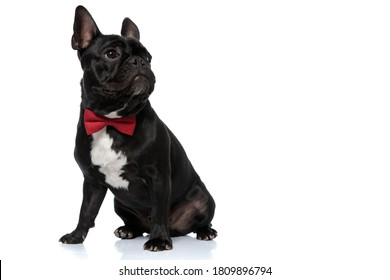 Dutiful French Bulldog puppy wearing bowtie and looking away focused, sitting on white studio background