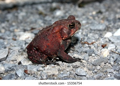 Dwarf American Toad (Bufo americanus charlesmithi)