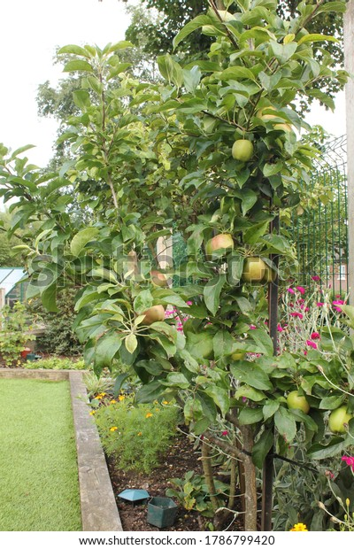 Dwarf apple tree with fruit in a small garden border