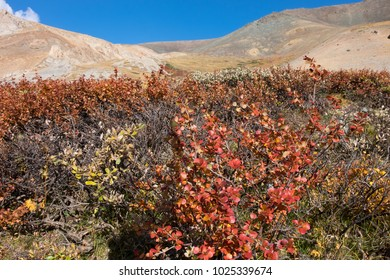 dwarf birch in the mountains of the Altai in Asia