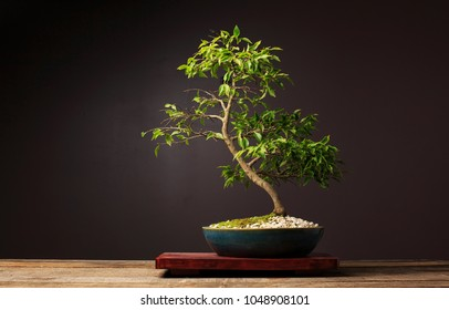 A Dwarf Camellia Bonsai Tree Sits On A Display Table On A Wooden Bench