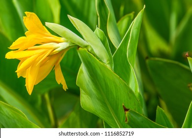 """Dwarf Canna """"Lucifer"""" / Canna indica (Indian shot, Canna) ; Showing bunch of bouquet, dark yellow flora, delicate petals. Full blooming flowers on long stalk. close up, natural sunlight."""