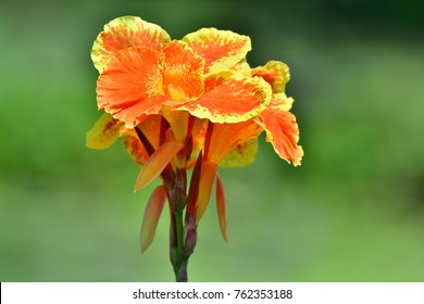 """Dwarf Canna """"Lucifer"""" ; Canna indica (Indian shot, Canna) ; Showing bunch of bouquet, dark orange - yellow flora, delicate petals. Full blooming flowers on long stalk.  close up, natural sunlight."""