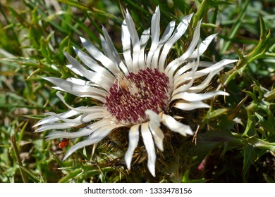 Dwarf carline flower.