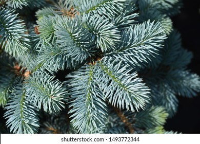 Dwarf Colorado blue spruce - Latin name - Picea pungens Glauca Globosa