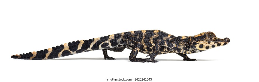 Dwarf crocodile, Osteolaemus tetraspis also know as African dwarf crocodile, broad-snouted crocodile, or bony crocodile against white background