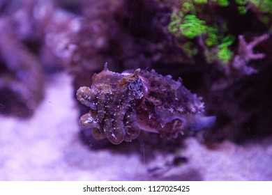 Dwarf cuttlefish Sepia bandensis is native to the western Pacific Ocean.