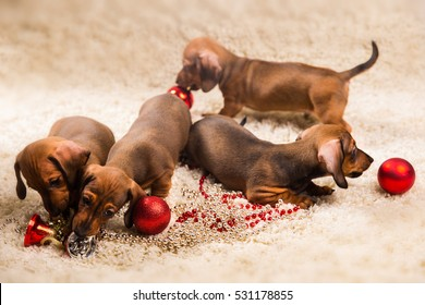dwarf Dachshund brown on a beige background puppies with Christmas toys