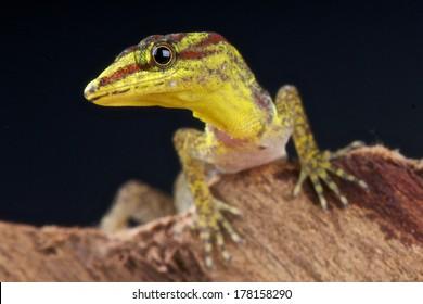 Dwarf daygecko / Gonatodes humerlais