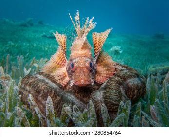 Dwarf Fin Lionfish on sea cucumber