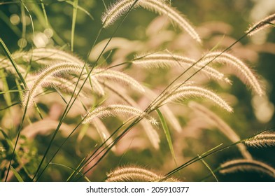 Dwarf Foxtail Grass or Pennisetum alopecuroides weed plants flowers vintage