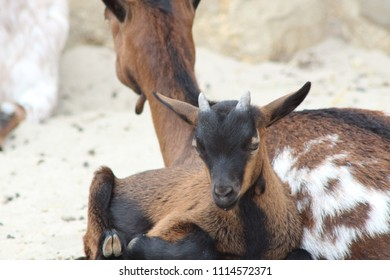 Dwarf goat is lying with his mother