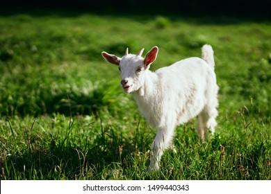 dwarf goat running on grass in a meadow small horns pet