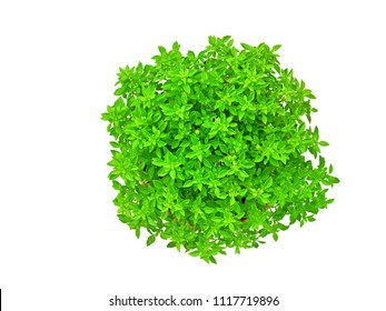 Dwarf Greek basil in clay pot isolated on white background (Ocimum Basilicum) top view