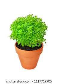 Dwarf Greek basil in clay pot isolated on white background (Ocimum Basilicum)