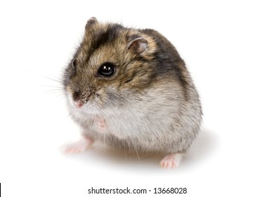 dwarf hamster close-up