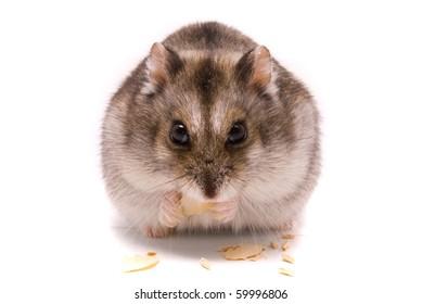 Dwarf hamster eating pumpkin seed