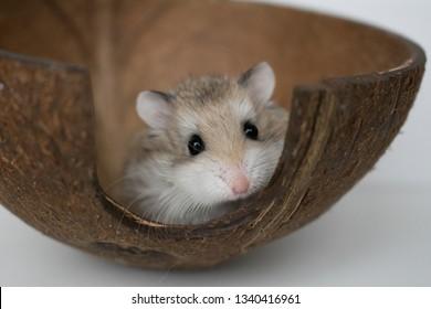 Dwarf hamsters having a photoshoot