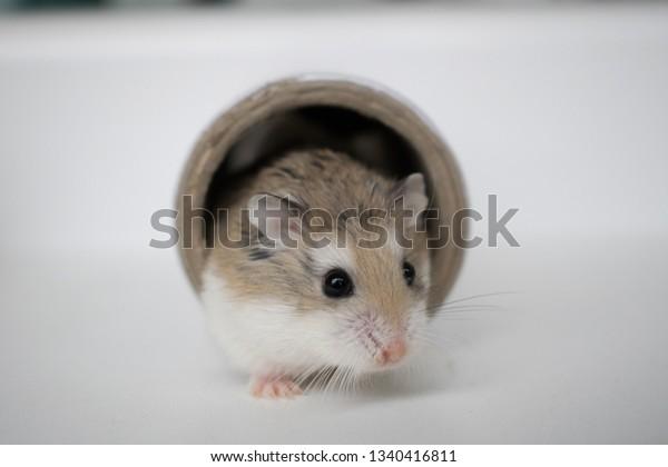 Dwarf Hamsters Having Photoshoot Stock Photo (Edit Now) 1340416811