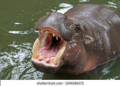Dwarf hippopotamus open mouth in water