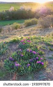 Dwarf iris in Pusty kopec u Konic near Znojmo, Southern Moravia, Czech Republic - Shutterstock ID 1930997870