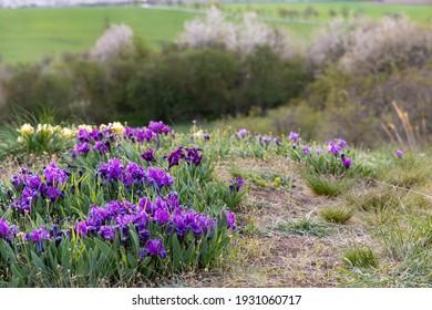 Dwarf iris in Pusty kopec u Konic near Znojmo, Southern Moravia, Czech Republic - Shutterstock ID 1931060717