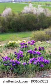 Dwarf iris in Pusty kopec u Konic near Znojmo, Southern Moravia, Czech Republic - Shutterstock ID 1931063252