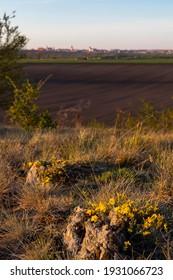 Dwarf iris in Pusty kopec u Konic near Znojmo, Southern Moravia, Czech Republic - Shutterstock ID 1931066723
