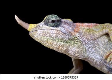 Dwarf Jackson chameleon (Trioceros jacksonii merumontanus) female