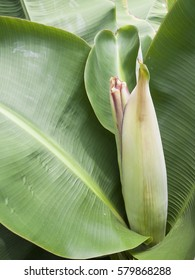 Dwarf kind of banana with banana blossom before the fruit grown