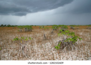 Dwarf Mangroves Trees of Everglades National Park, Florida, under drought conditions with dark rain clouds in the background.