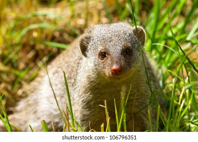 Dwarf mongoose on a sunny day in the park