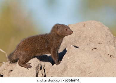 Dwarf Mongoose on Termite Mound, South Africa