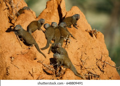 Dwarf Mongooses (Helogale parvula)  on a termite hill in Samburu National Reserve, Kenya