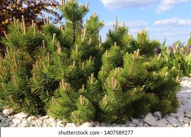 Dwarf mountain pine (Pinus mugo var. pumilio) in the spring rockery