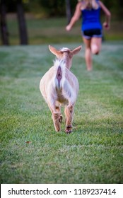 Dwarf Nigerian goat playing on grass. Running and jumping with a little blonde haired girl.