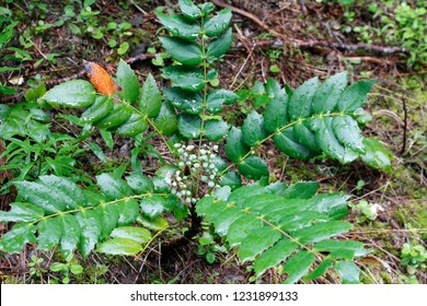 Dwarf Oregon-grape (Mahonia aquifolium), Lookout Creek Old-growth trail, H.J. Andrews Experimental Forest, Oregon, USA