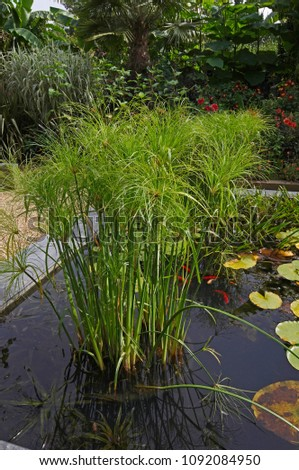 Dwarf Papyrus Cyperus Growing In A Raised Water Garden