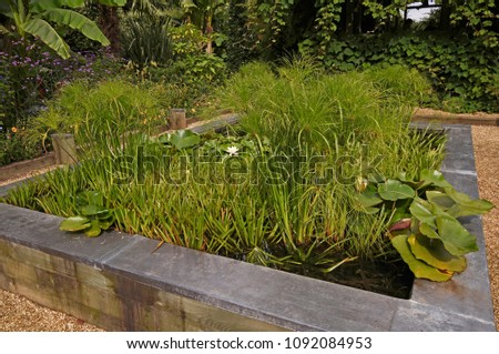 Dwarf Papyrus Cyperus And Water Lilies Growing In A Raised Water Garden