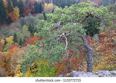 Dwarf pine trees above the autumn forest