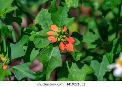 Dwarf poinsettia a.k.a. fire-on-the-mountain (Euphorbia cyathophora) closeup - Topeekeegee Yugnee (TY) Park, Hollywood, Florida, USA